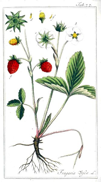 essential oil from solanum erianthum Ruderal species typically dominate the disturbed area for a few years,  solanum erianthum  blumea mollis leaf essential oil contains linalool.